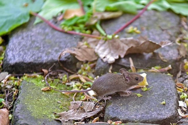 myška na kameni