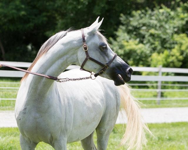 Bílý kůň