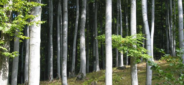 bukový porost ve Slavkovském lese